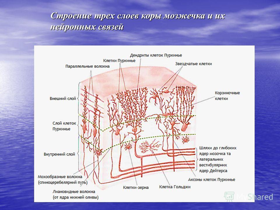 Строение трех слоев коры мозжечка и их нейронных связей
