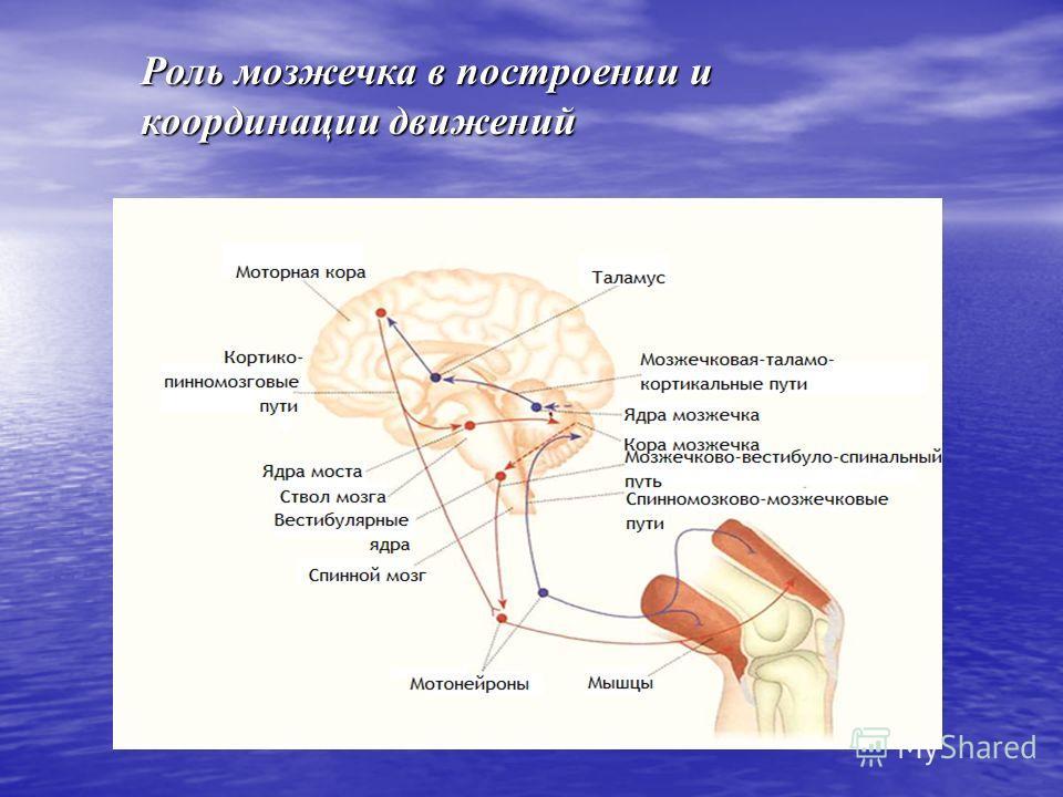 Роль мозжечка в построении и координации движений