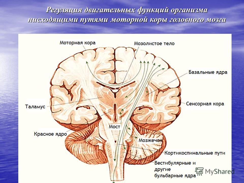 Регуляция двигательных функций организма нисходящими путями моторной коры головного мозга