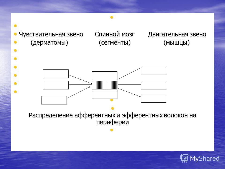 Чувствительная звено Спинной мозг Двигательная звено Чувствительная звено Спинной мозг Двигательная звено (дерматомы) (сегменты) (мышцы) (дерматомы) (сегменты) (мышцы) Распределение афферентных и эфферентных волокон на периферии Распределение афферен