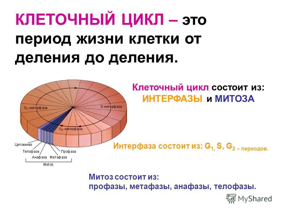 КЛЕТОЧНЫЙ ЦИКЛ – это период жизни клетки от деления до деления. Клеточный цикл состоит из: ИНТЕРФАЗЫ и МИТОЗА Интерфаза состоит из: G 1, S, G 2 – периодов. Митоз состоит из: профазы, метафазы, анафазы, телофазы.