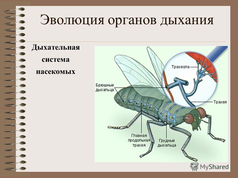 Эволюция органов дыхания Дыхательная система насекомых