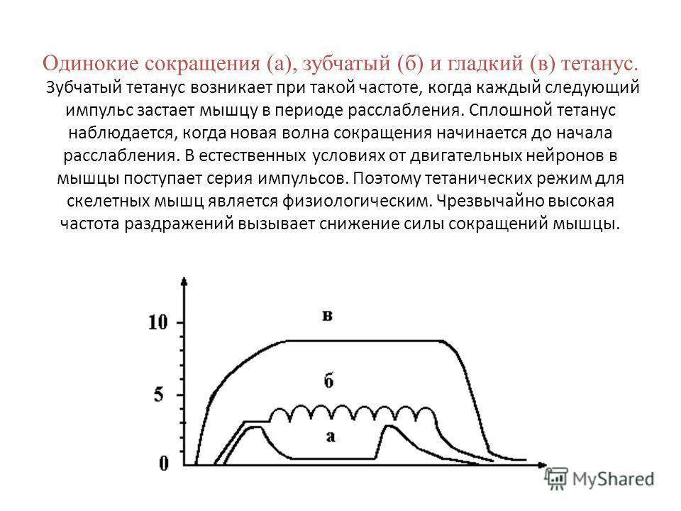 Одинокие сокращения (а), зубчатый (б) и гладкий (в) тетанус. Зубчатый тетанус возникает при такой частоте, когда каждый следующий импульс застает мышцу в периоде расслабления. Сплошной тетанус наблюдается, когда новая волна сокращения начинается до н