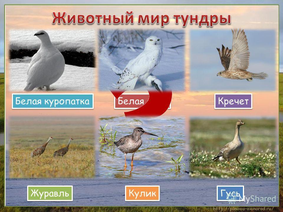 Белая куропатка Белая сова Кречет Журавль Кулик Гусь