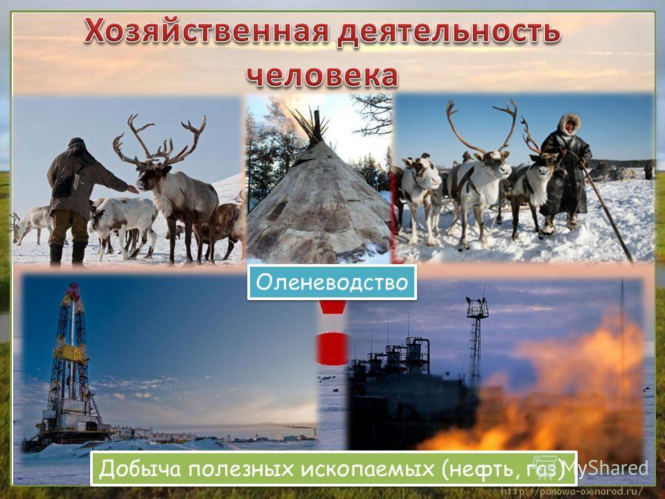 Добыча полезных ископаемых (нефть, газ) Оленеводство