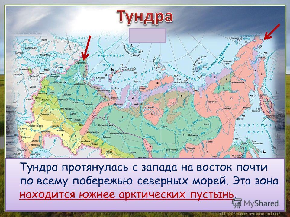 Тундра протянулась с запада на восток почти по всему побережью северных морей. Эта зона находится южнее арктических пустынь.
