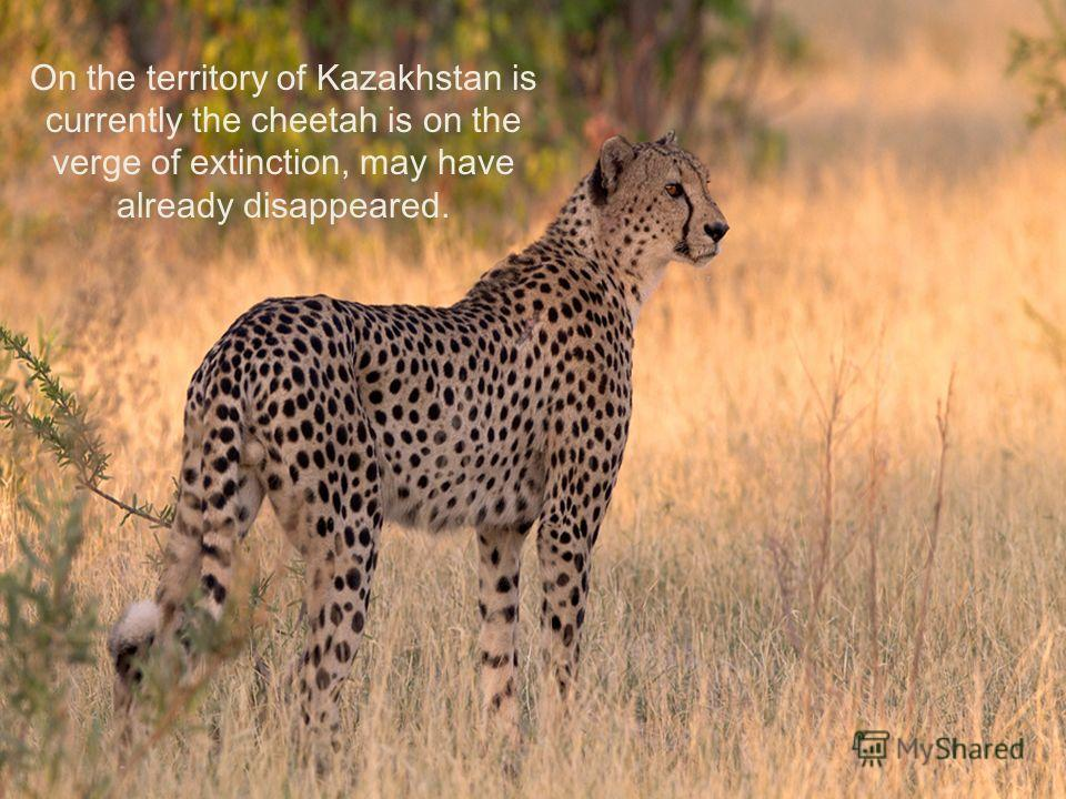 On the territory of Kazakhstan is currently the cheetah is on the verge of extinction, may have already disappeared.