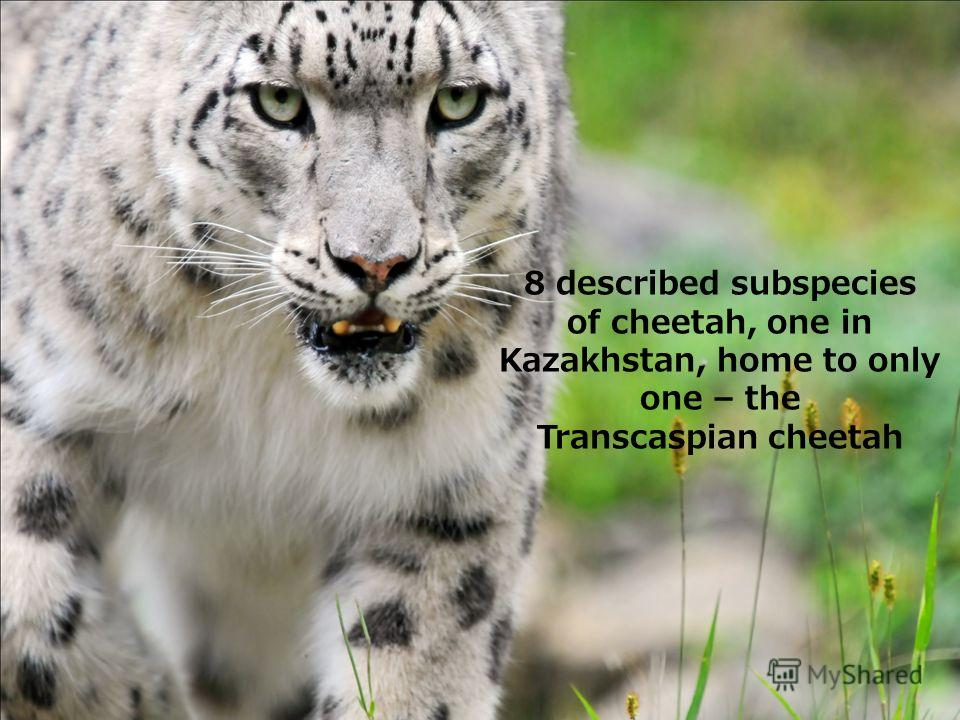 8 described subspecies of cheetah, one in Kazakhstan, home to only one – the Transcaspian cheetah