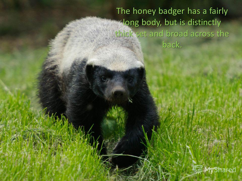 The honey badger has a fairly long body, but is distinctly thick set and broad across the back.