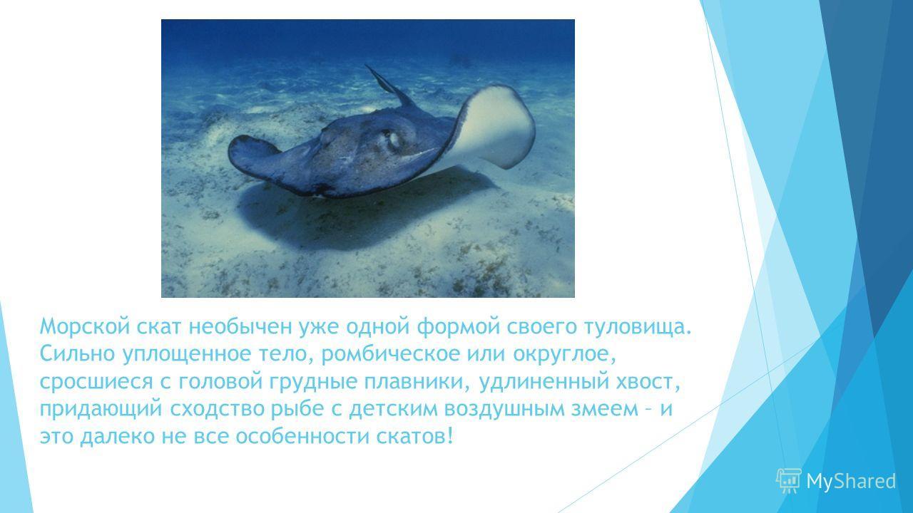 Морской скат необычен уже одной формой своего туловища. Сильно уплощенное тело, ромбическое или округлое, сросшиеся с головой грудные плавники, удлиненный хвост, придающий сходство рыбе с детским воздушным змеем – и это далеко не все особенности скат