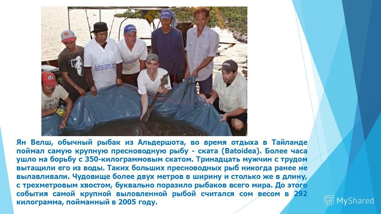 Ян Велш, обычный рыбак из Альдершота, во время отдыха в Тайланде поймал самую крупную пресноводную рыбу - ската (Batoidea). Более часа ушло на борьбу с 350-килограммовым скатом. Тринадцать мужчин с трудом вытащили его из воды. Таких больших пресновод