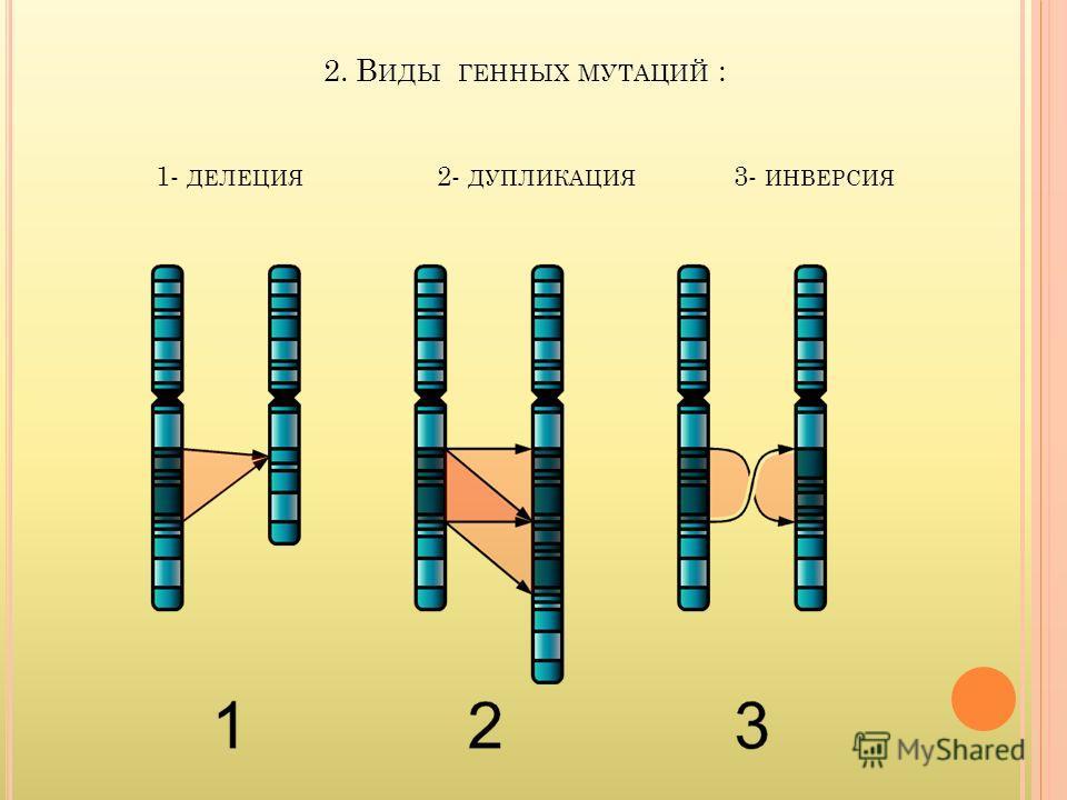 2. В ИДЫ ГЕННЫХ МУТАЦИЙ : 1- ДЕЛЕЦИЯ 2- ДУПЛИКАЦИЯ 3- ИНВЕРСИЯ
