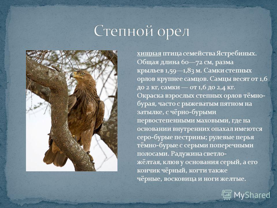 хищная птица семейства Ястребиных. Общая длина 6072 см, разма крыльев 1,591,83 м. Самки степных орлов крупнее самцов. Самцы весят от 1,6 до 2 кг, самки от 1,6 до 2,4 кг. Окраска взрослых степных орлов тёмно- бурая, часто с рыжеватым пятном на затылке