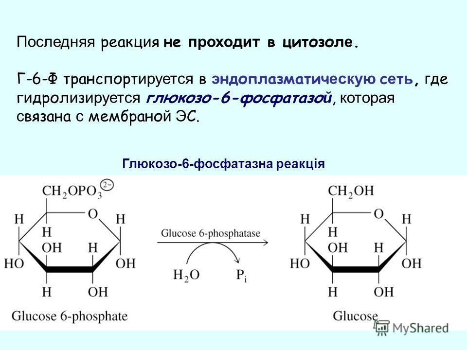 Последняя реакц и я не проходит в цитозол е. Г-6-Ф транспорт ируется в э ндоплазматич ескую с е т ь, г де г и дрол и з ируется глюкозо-6-фосфатазо й, которая с вязана с мембрано й Э С. Глюкозо-6-фосфатазна реакція