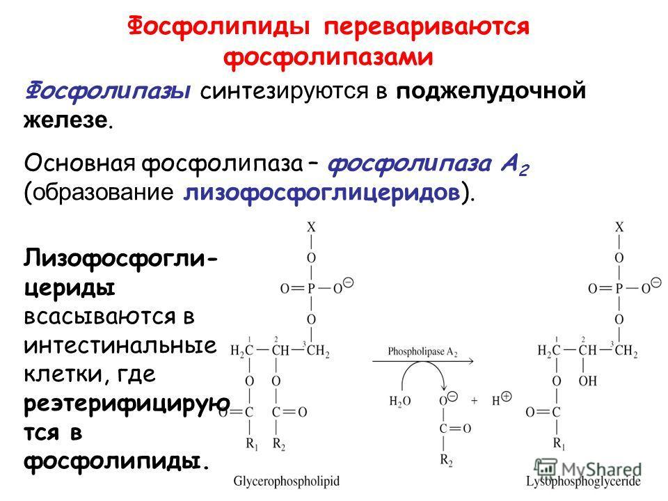 Фосфол и п и д ы перевариваются фосфол и пазами Лизофосфогли- цериды всасываются в интестинальные клетки, где реэтерифицирую тся в фосфолипиды. Фосфол и паз ы синтез ируются в п о д желудочной железе. Основна я фосфол и паза – фосфол и паза A 2 ( обр