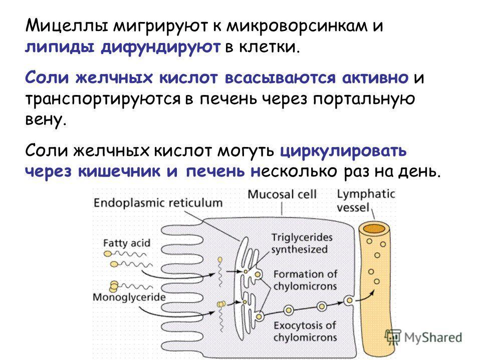 Мицеллы мигрируют к микроворсинкам и липиды дифундируют в клетки. Соли желчных кислот всасываются активно и транспортируются в печень через портальную вену. Соли желчных кислот могуть циркулировать через кишечник и печень несколько раз на день.