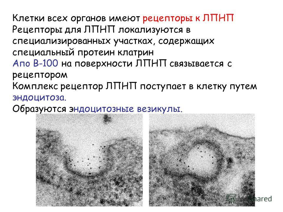 Клетки всех органов имеют рецепторы к ЛПНП Рецепторы для ЛПНП локализуются в специализированных участках, содержащих специальный протеин клатрин Aпo B-100 на поверхности ЛПНП связывается с рецептором Комплекс рецептор ЛПНП поступает в клетку путем эн