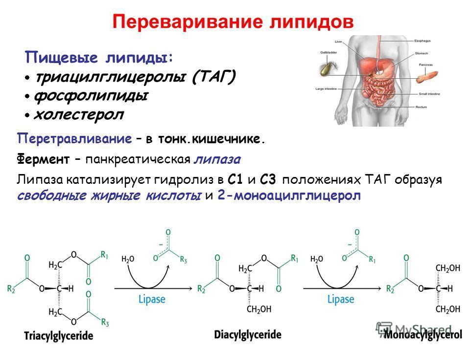 Переваривание липидов Пищевые липиды: триацилглицеролы (ТАГ) фосфолипиды холестерол Перетравливание – в тонк.кишечнике. Фермент – панкреатическая липаза Липаза катализирует гидролиз в C1 и C3 положениях ТАГ образуя свободные жирные кислоты и 2-моноац
