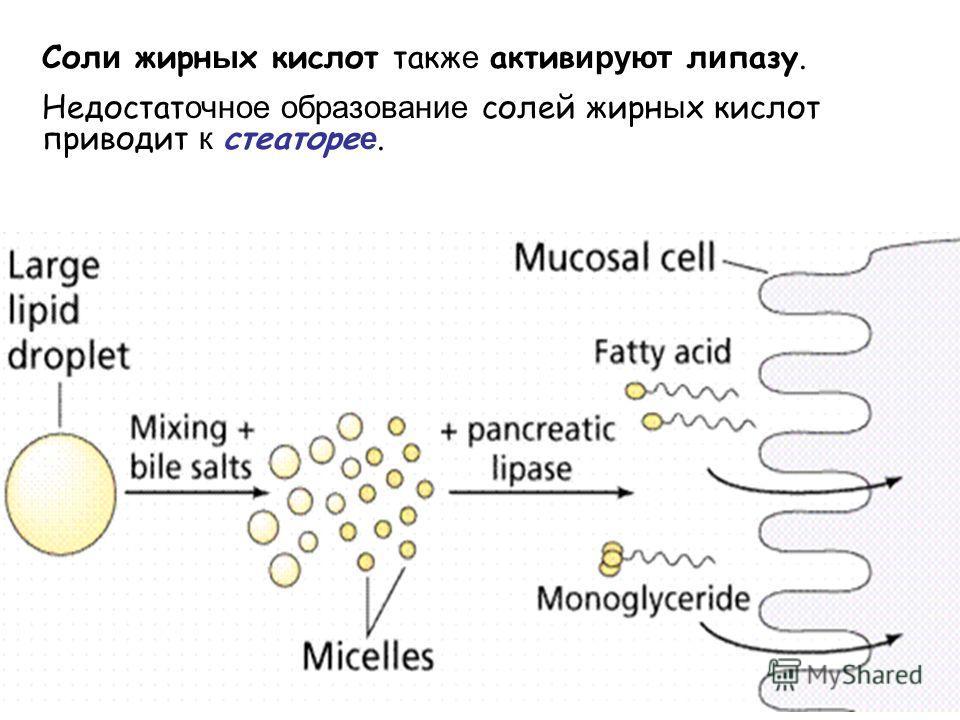Сол и жирн ы х кислот такж е актив ируют л и пазу. Недостат очное образование солей жирн ы х кислот приводит к стеаторе е.