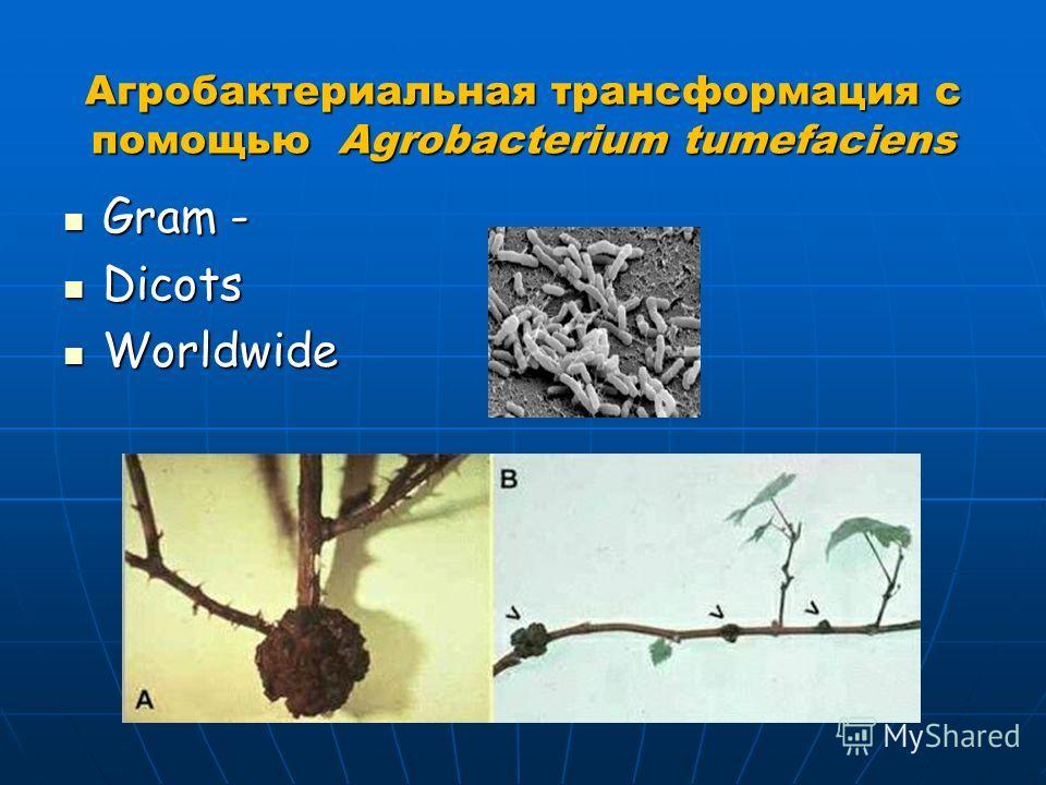 Агробактериальная трансформация с помощью Agrobacterium tumefaciens Gram - Gram - Dicots Dicots Worldwide Worldwide