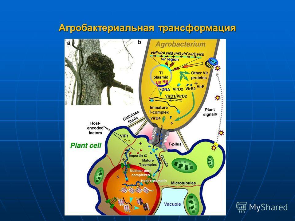 Агробактериальная трансформация