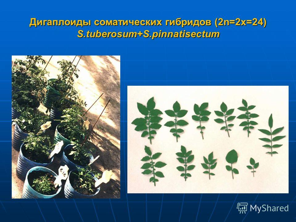 Дигаплоиды соматических гибридов (2n=2x=24) S.tuberosum+S.pinnatisectum