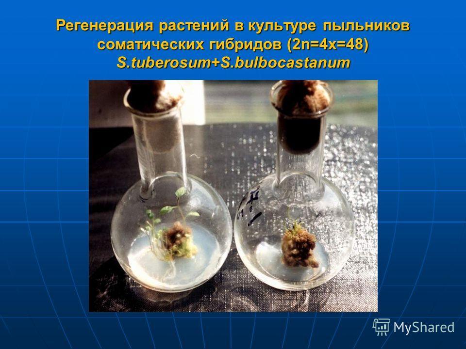 Регенерация растений в культуре пыльников соматических гибридов (2n=4x=48) S.tuberosum+S.bulbocastanum