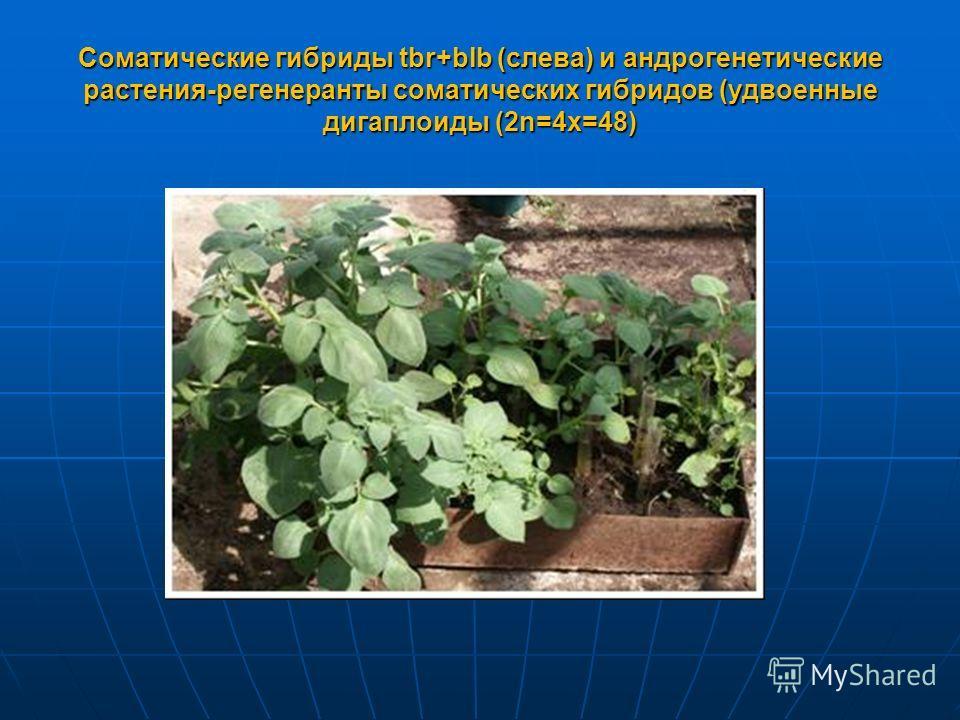 Соматические гибриды tbr+blb (слева) и андрогенетические растения-регенеранты соматических гибридов (удвоенные дигаплоиды (2n=4x=48)