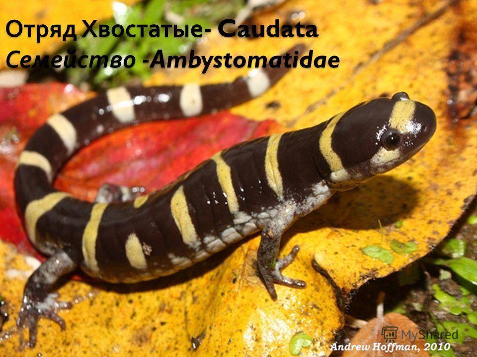 Отряд Хвостатые - Caudata Семейство -Ambystomatidae