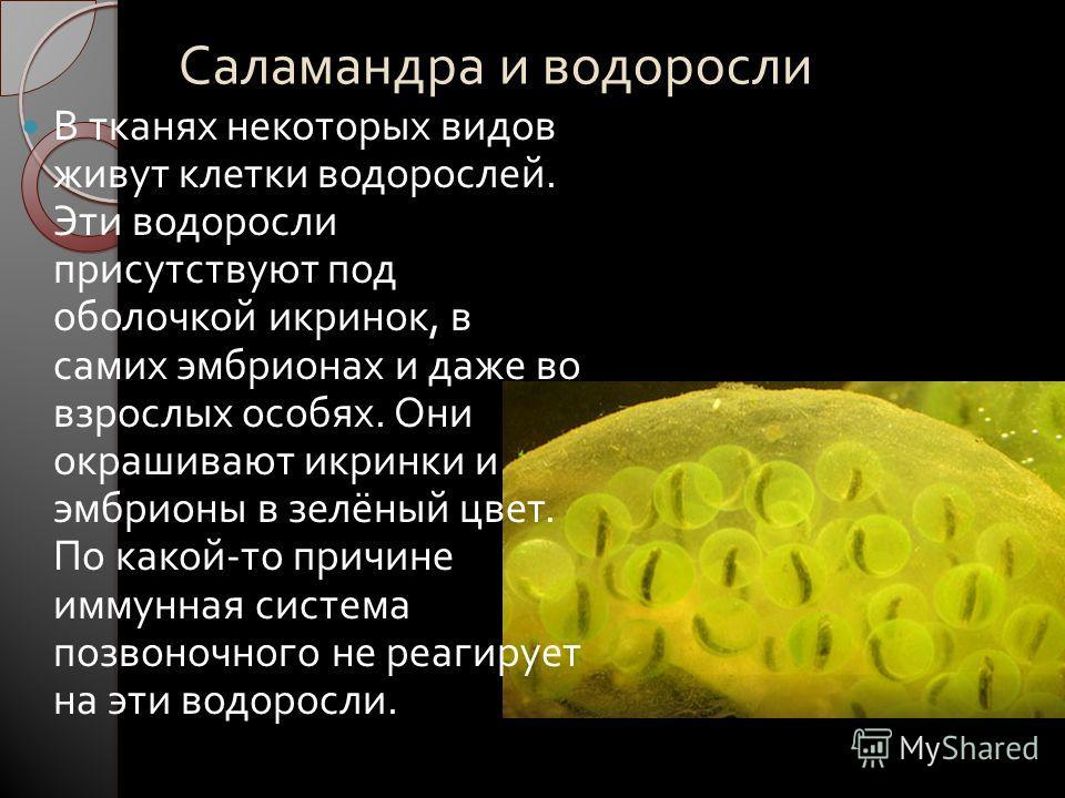 Саламандра и водоросли В тканях некоторых видов живут клетки водорослей. Эти водоросли присутствуют под оболочкой икринок, в самих эмбрионах и даже во взрослых особях. Они окрашивают икринки и эмбрионы в зелёный цвет. По какой - то причине иммунная с