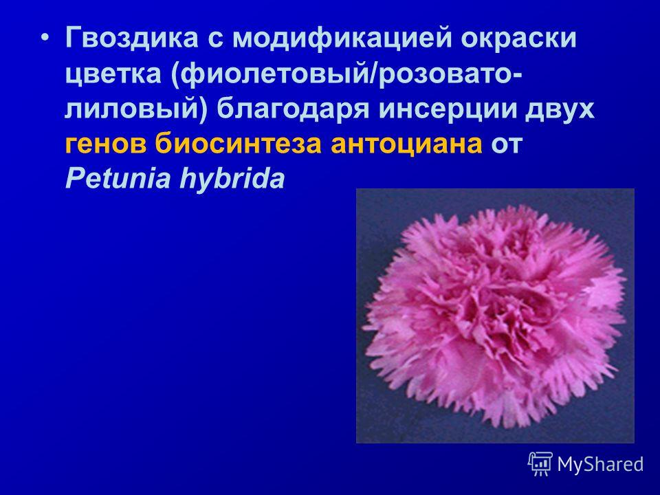 Гвоздика с модификацией окраски цветка (фиолетовый/розовато- лиловый) благодаря инсерции двух генов биосинтеза антоциана от Petunia hybrida