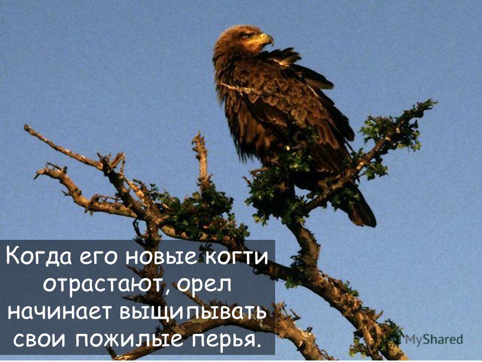 32 После срывание клюва, орел отрастает новый и затем срывает свои когти.