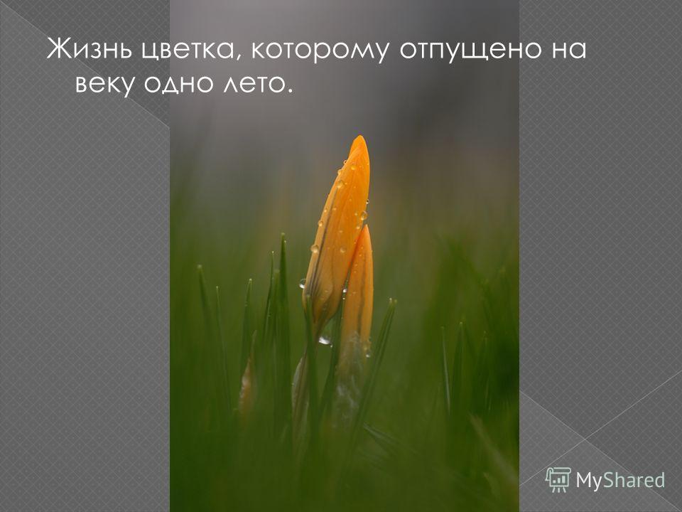Жизнь цветка, которому отпущено на веку одно лето.