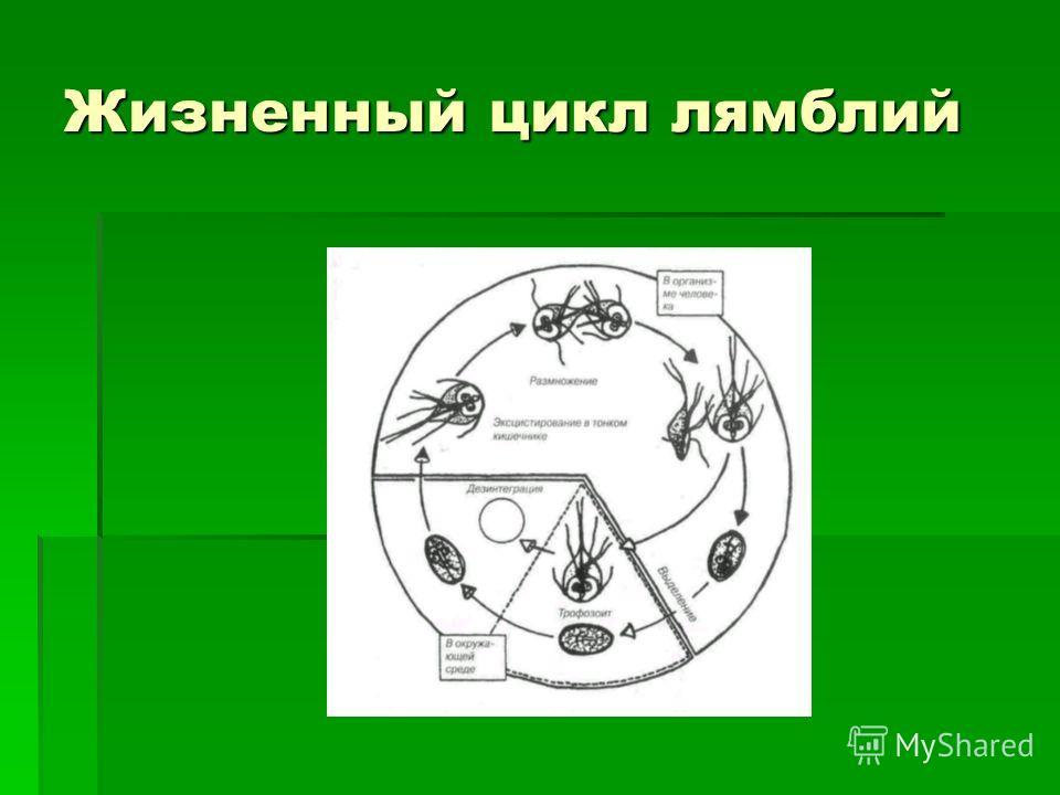 Жизненный цикл лямблий