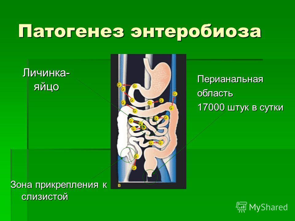 Патогенез энтеробиоза Личинка- яйцо Зона прикрепления к слизистой Перианальнаяобласть 17000 штук в сутки