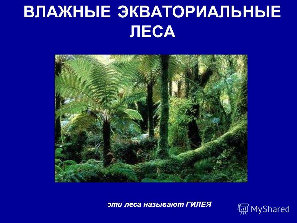 ВЛАЖНЫЕ ЭКВАТОРИАЛЬНЫЕ ЛЕСА эти леса называют ГИЛЕЯ