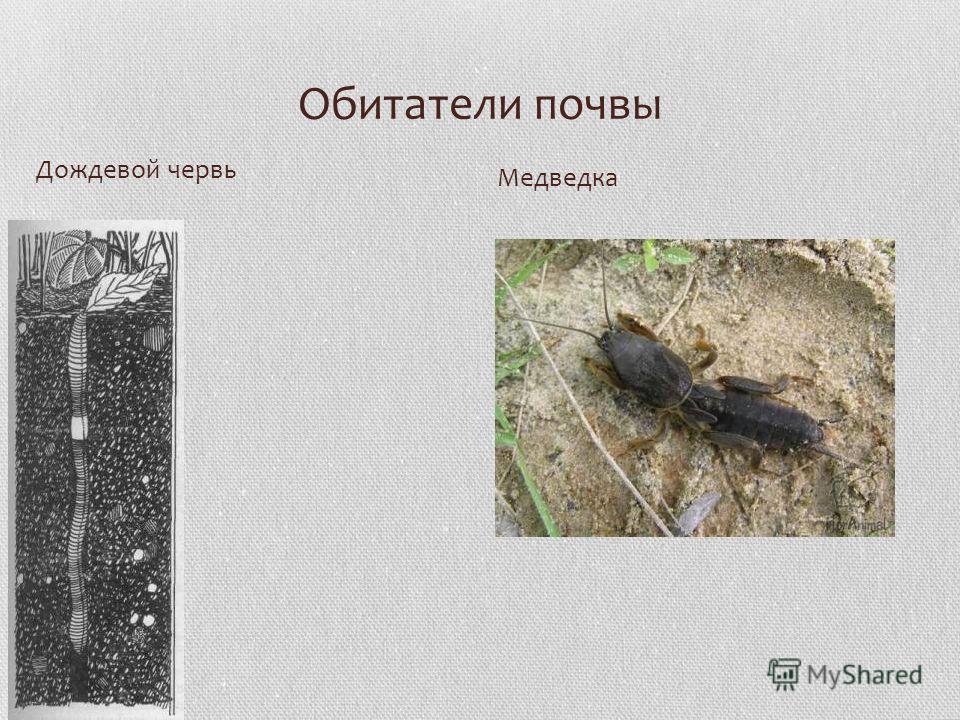 Обитатели почвы Дождевой червь Медведка