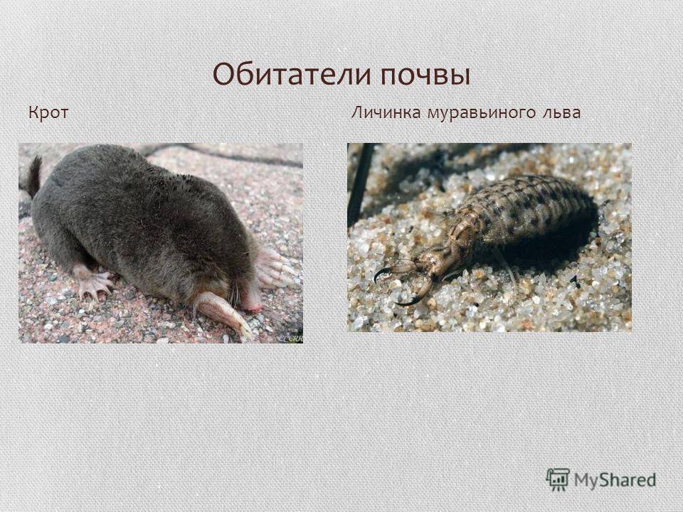 Обитатели почвы КротЛичинка муравьиного льва