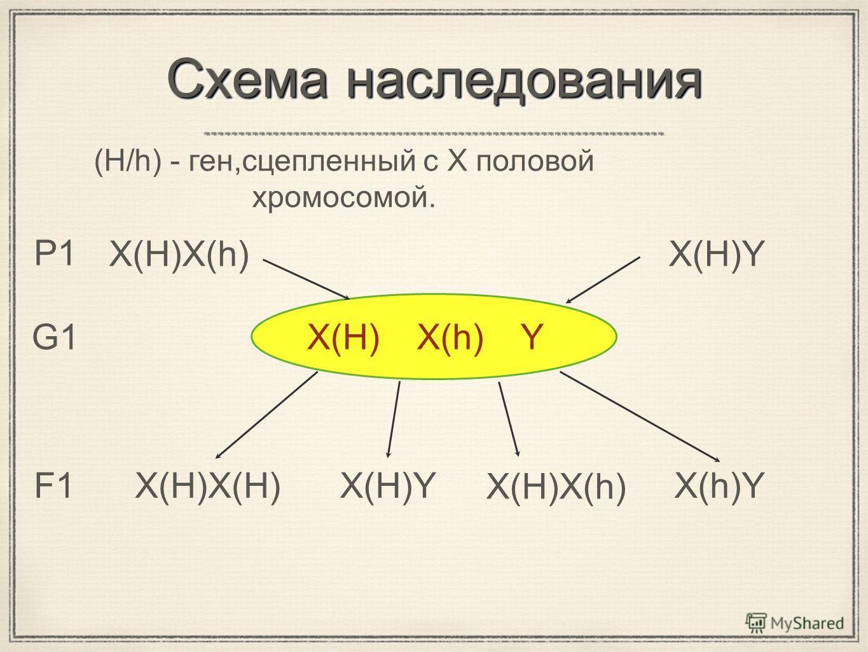 Схема наследования X(H)X(h)X(H)Y (H/h) - ген,сцепленный с X половой хромосомой. X(H) P1 G1 F1 X(h)Y X(h)Y X(H)X(h) X(H)YX(H)X(H)