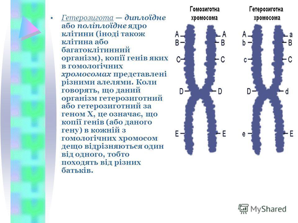 Гетерозигота диплоїдне або поліплоїдне ядро клітини (іноді також клітина або багатоклітинний організм), копії генів яких в гомологічних хромосомах представлені різними алелями. Коли говорять, що даний організм гетерозиготний або гетерозиготний за ген