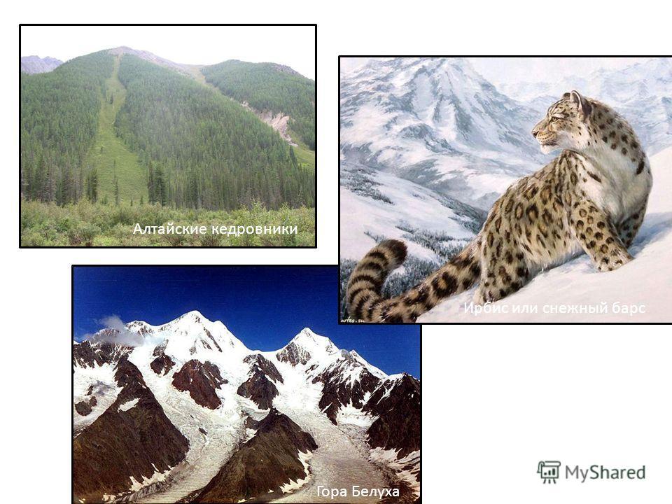 Алтайские кедровники Ирбис или снежный барс Гора Белуха