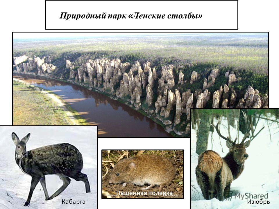 Природный парк « Ленские столбы » КабаргаИзюбрь Пашенная полевка