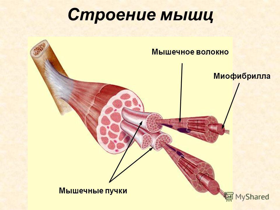 Строение мышц Миофибрилла Мышечное волокно Мышечные пучки