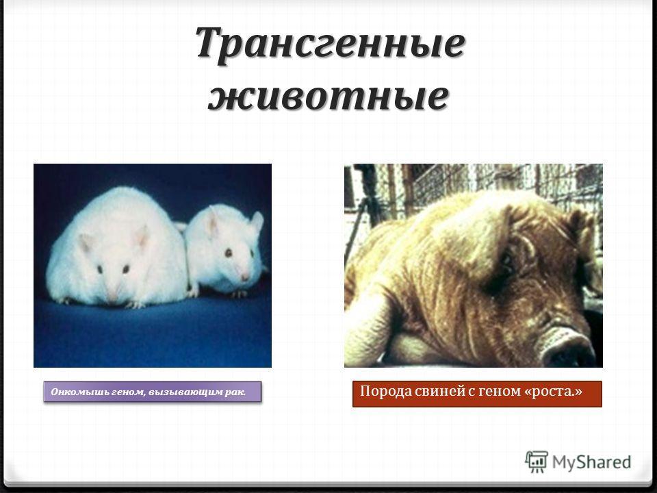 Трансгенные животные Онкомышь геном, вызывающим рак. Порода свиней с геном «роста.»