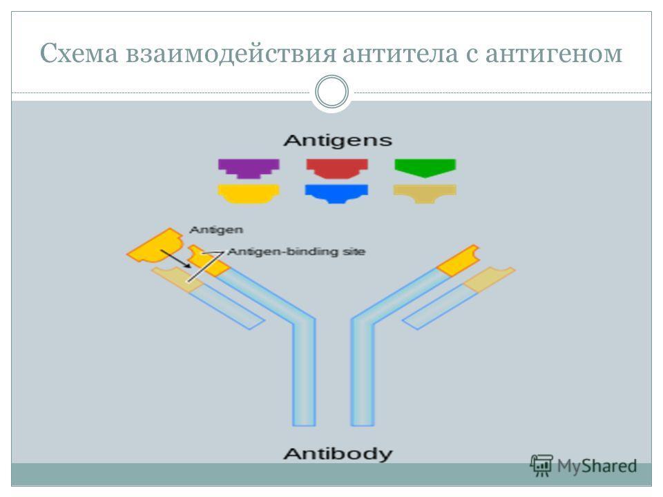Схема взаимодействия антитела с антигеном