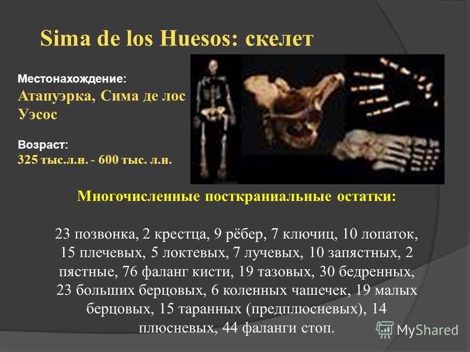 Sima de los Huesos: скелет Местонахождение: Атапуэрка, Сима де лос Уэсос Возраст: 325 тыс.л.н. - 600 тыс. л.н. Многочисленные посткраниальные остатки: 23 позвонка, 2 крестца, 9 рёбер, 7 ключиц, 10 лопаток, 15 плечевых, 5 локтевых, 7 лучевых, 10 запяс