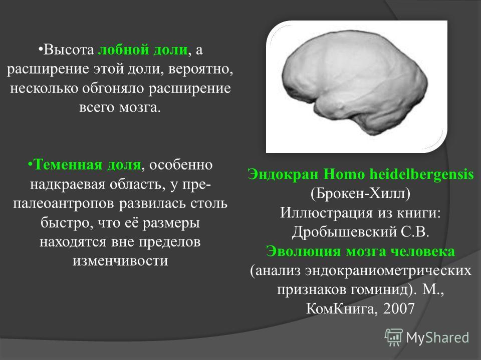Высота лобной доли, а расширение этой доли, вероятно, несколько обгоняло расширение всего мозга. Теменная доля, особенно надкраевая область, у пре- палеоантропов развилась столь быстро, что её размеры находятся вне пределов изменчивости Эндокран Homo