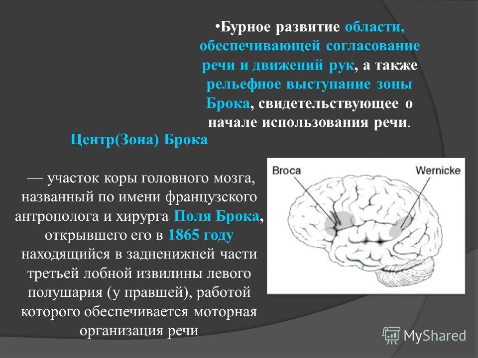 Бурное развитие области, обеспечивающей согласование речи и движений рук, а также рельефное выступание зоны Брока, свидетельствующее о начале использования речи. Центр(Зона) Брока участок коры головного мозга, названный по имени французского антропол