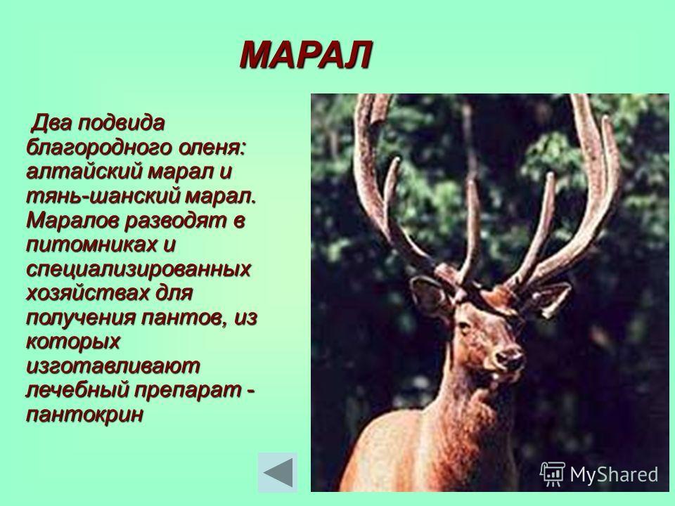 МАРАЛ Два подвида благородного оленя: алтайский марал и тянь-шанский марал. Маралов разводят в питомниках и специализированных хозяйствах для получения пантов, из которых изготавливают лечебный препарат - пантокрин Два подвида благородного оленя: алт