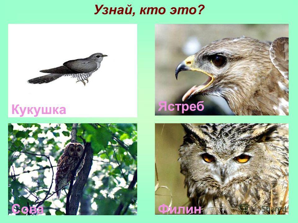 Кукушка Ястреб СоваФилин Узнай, кто это?